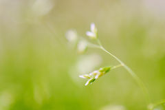 Makroskott av gräs med frö Arkivbilder