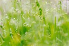 Makroskott av gräs med frö Arkivfoton