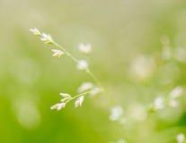 Makroskott av gräs med frö Royaltyfria Foton