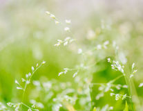 Makroskott av gräs med frö Arkivfoto