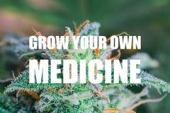 Makroskott av nytt klippt medicinsk marijuana blommar på ett inomhus växer operation väx din egen medicintext arkivbilder