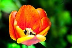Makroskott av röda tulpan i trädgården på färgrik bakgrund i mitt av en trädgård på vår Arkivbild