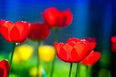 Makroskott av röda tulpan i trädgården på färgrik bakgrund i mitt av en trädgård på vår Royaltyfri Foto