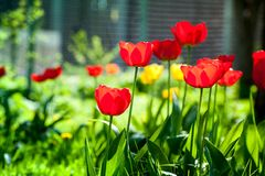 Makroskott av röda tulpan i trädgården på färgrik bakgrund i mitt av en trädgård på vår Arkivbilder