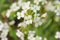 Makroskott för vita blommor Arkivbilder