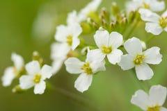 Makroskott för vita blommor Arkivbild