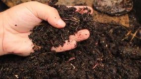 Makroskottet av avmaskar och larver, som flyttar sig i den fertila jorden, är van vid gödslar jorden och gör den bra för skördar stock video