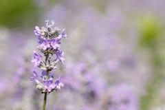 Makroskottet av en härlig lavendelblomning mot ljusa suddiga naturliga lilor gör grön bakgrund Fotografering för Bildbyråer