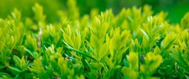 Makroskytte av en grön buske Fj?dra bakgrund med gr?s royaltyfri foto