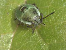 Makroslut upp av ett grönt sköldfel/stankfelet, foto som tas i UK arkivfoto