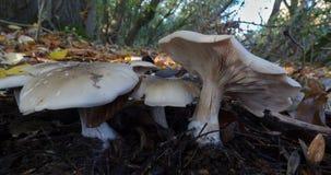 Makroslut upp av växande det fria för champinjon/för svamp i skogsmarkområde, höstsäsong foto som tas i Förenade kungariket royaltyfria foton