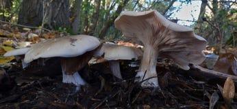 Makroslut upp av växande det fria för champinjon/för svamp i skogsmarkområde, höstsäsong foto som tas i Förenade kungariket fotografering för bildbyråer