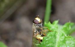 Makroslut upp skott av samlande ett hoverfly pollen från trädgården, foto som tas i UK arkivfoton
