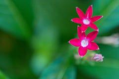 Makrosonderkommando einer Gruppe kleiner rosa Blumen Stockfotografie