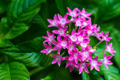 Makrosonderkommando einer Gruppe kleiner rosa Blumen Stockbilder