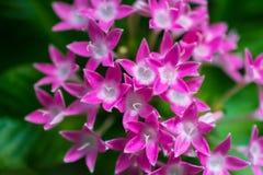 Makrosonderkommando einer Gruppe kleiner rosa Blumen Lizenzfreies Stockfoto