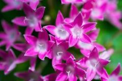 Makrosonderkommando einer Gruppe kleiner rosa Blumen Stockfoto