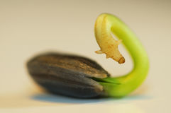 Makrosonnenblumen-Sämling Lizenzfreies Stockfoto