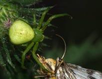 Makrospindel - manlueshamatställe som jag önskar att omfamna dina spindlar och malar Royaltyfria Bilder