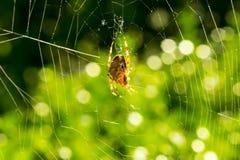 Makrospinne im Netz, das Spinnennetz hintergrundbeleuchtet durch Sonne mit boke Lizenzfreies Stockfoto