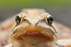 Makrostående av den europeiska gräsgrodan royaltyfri foto