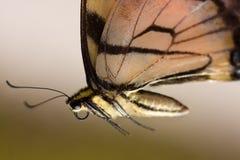 makroswallowtailtiger Fotografering för Bildbyråer