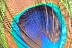 Makrotextur av den färgrika påfågelfjädern royaltyfri fotografi