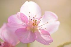 Makrotextur av japanska rosa färger Cherry Blossoms i solsken Royaltyfri Fotografi
