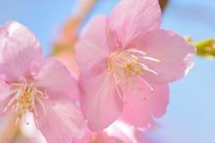 Makrotextur av japanska rosa färger Cherry Blossoms i solsken Fotografering för Bildbyråer