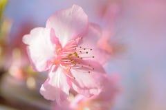 Makrotextur av japanska rosa färger Cherry Blossoms i solsken Arkivbild
