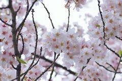Makrotextur av japanska vita Shomei Yoshino Cherry Blossoms Arkivbild