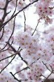 Makrotextur av japanska vita Shomei Yoshino Cherry Blossoms Royaltyfria Bilder