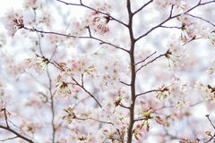 Makrotextur av japanska vita Shomei Yoshino Cherry Blossoms Royaltyfri Fotografi
