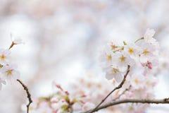 Makrotextur av japanska vita Shomei Yoshino Cherry Blossoms Fotografering för Bildbyråer