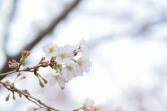 Makrotextur av japanska vita Shomei Yoshino Cherry Blossoms Royaltyfria Foton