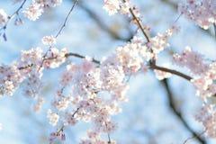 Makrotextur av japanska vita Shomei Yoshino Cherry Blossoms Royaltyfri Bild