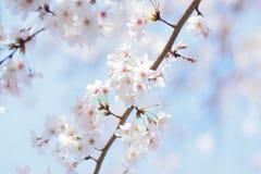 Makrotextur av japanska vita Shomei Yoshino Cherry Blossoms Royaltyfri Foto