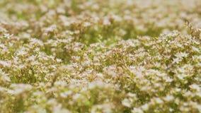 Makrotrieb: Bienen, die über die Blumen fliegen stock video footage