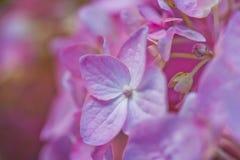 Makrovanlig hortensia Royaltyfri Foto