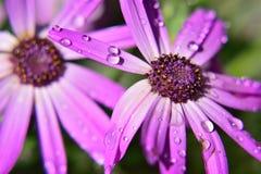 Makrovatten dews på blommayttersida arkivbild
