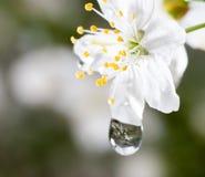 Makrovattendroppar på den körsbärsröda blomningen Royaltyfri Foto