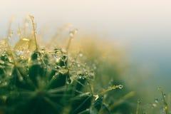 Makrovattensmå droppar av en kaktus arkivbilder