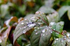 Makrovattensmå droppar på växten Fotografering för Bildbyråer