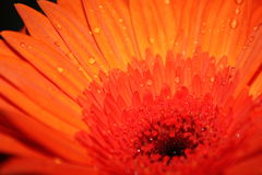 Makrowassertropfen der orange Blume Lizenzfreie Stockfotos
