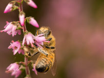 Makrowespe auf Seite von rosa Heide Lizenzfreie Stockfotos