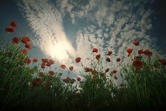 maku w warunkach polowych Makowy kwiatu pole, zbiera obrazy royalty free