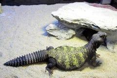 Malí Espinoso-ató el lagarto foto de archivo libre de regalías