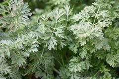 Malörtväxtsidor, Artemisiabakgrund Royaltyfri Bild