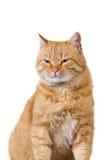 Mal del rojo del gato foto de archivo