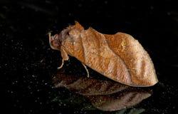 Mal fjäril på natten, mal i Thailand Arkivbild